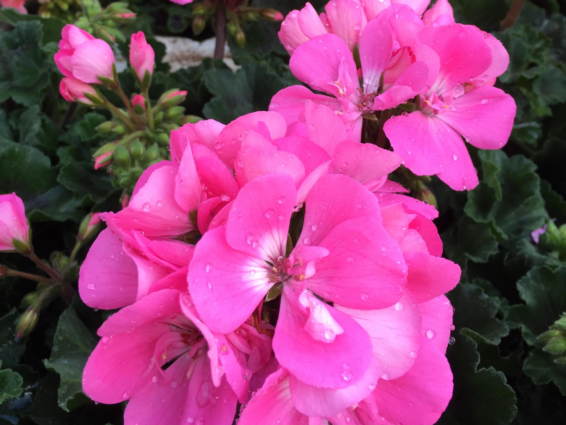 Die Geranie – Die Pflanze für den trockenen Sommer