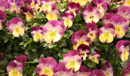 Hornveilchen sind beliebte Frühlingspflanzen