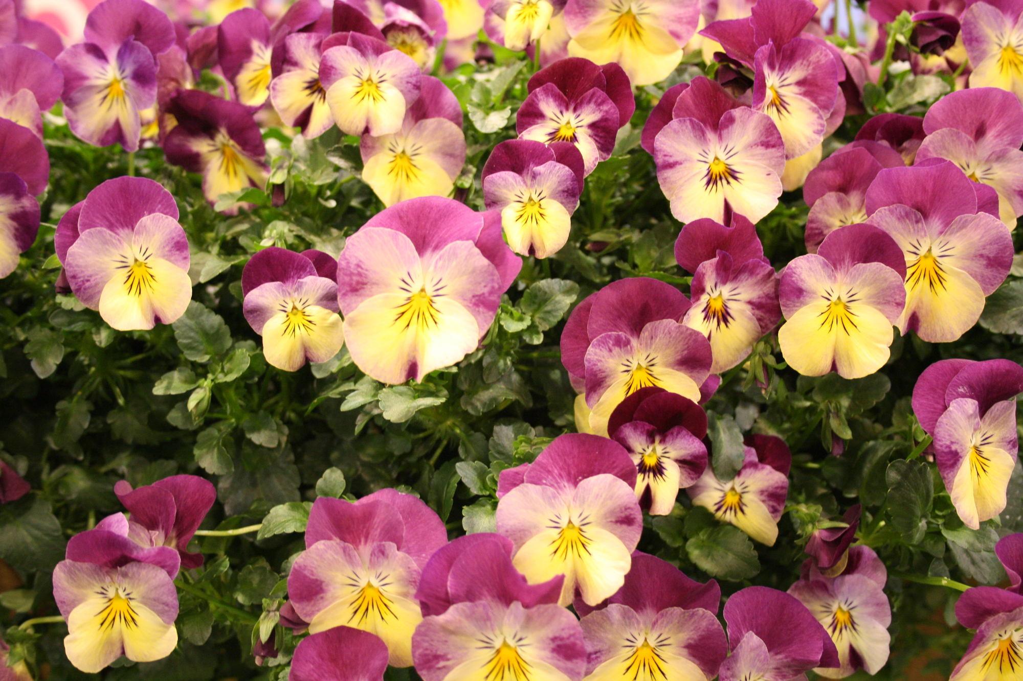 Hornveilchen – Eine sehr beliebte Frühlingspflanze