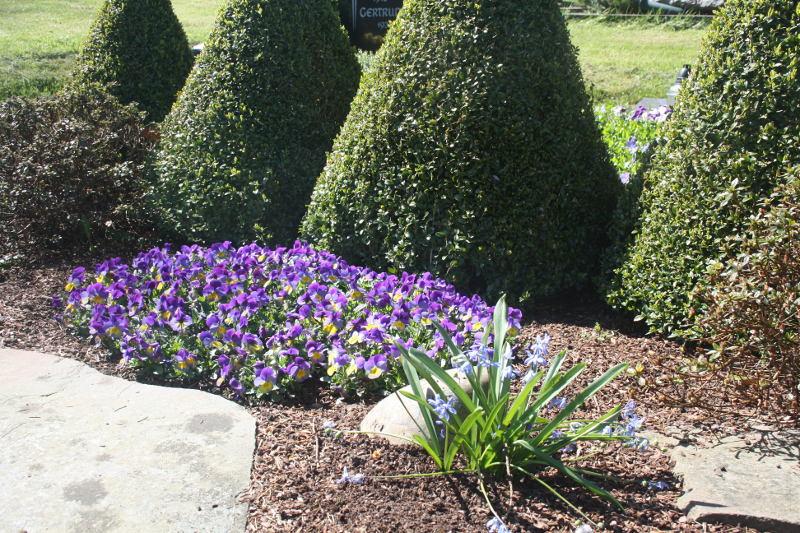 Das Hornveilchen bringt Farbe in den Garten